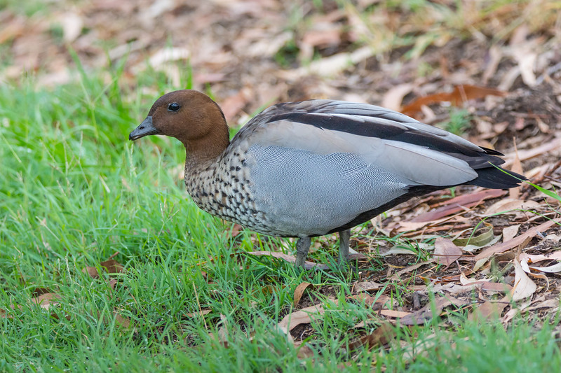 A male Australian Wood Duck, also called the Maned Duck or Maned Goose (Chenonetta jubata) at the Brisbane Botanic Gardens, Queensland, January 2017. [Chenonetta jubata 003 Brisbane-Qld-Australia 2017-01]