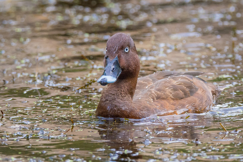 Hardhead, White-eyed Duck