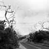 Forest of bare  dead wriggly trees in line both sides of Great Ocean Road
