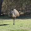 Emu at Tower Hill, Warnambool