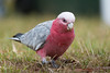 A Galah, also known as the Rose-breasted Cockatoo or the Roseate Cockatoo (Eolophus roseicapilla) at Tahlee, New South Wales, Australia, January 2017. [Eolophus roseicapilla 008 Tahlee-NSW-Australia 2017-01]