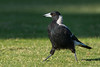 Australian Magpie, White-backed Magpie (Cracticus tibicen tyrannica) at Chirnside Park in Melbourne, January 2017. [Cracticus tibicen tyrannica 001 Melbourne-Australia 2017-01]