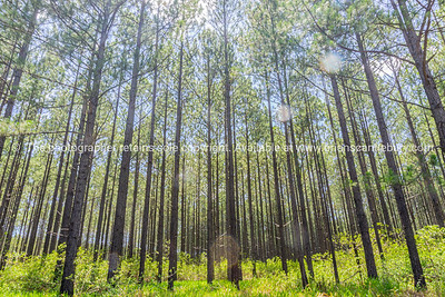 Pine forest from low angle view.