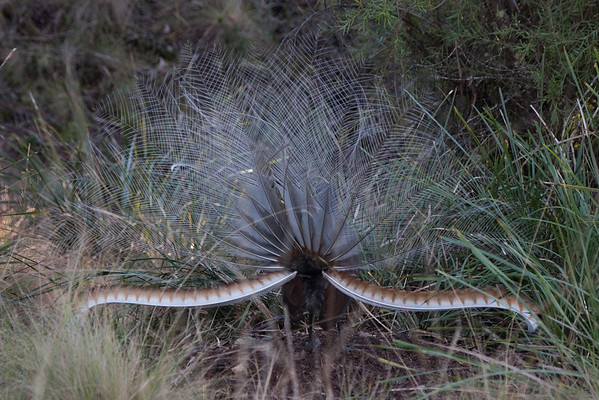 Lyrebird displaying on mound