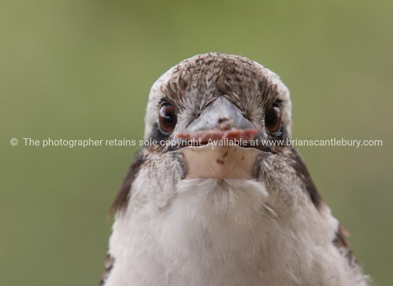 The look of a kookaburra.