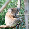 Cuddly koala up tree