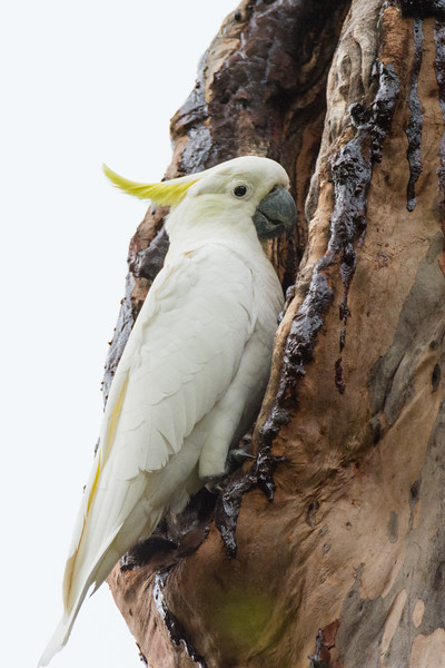 Greater Sulphur-crested Cockatoo (Cacatua galerita galerita) in Brisbane, January 2017. [Cacatua galerita galerita 005 Brisbane-Australia 2017-01]