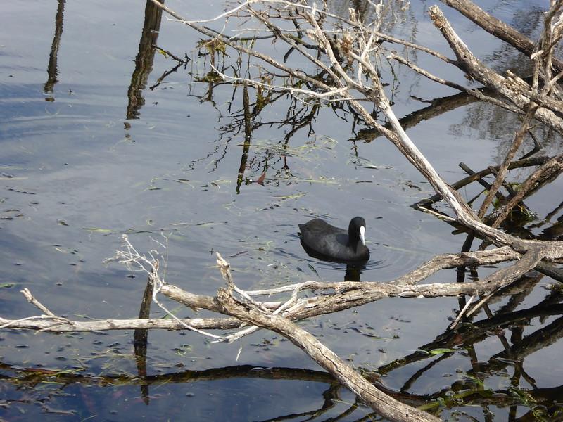 Coot seen in lagoon at Narawntapu NP