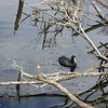 Coot seen in lagoon at Narawntapu NP