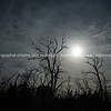Dead gum trees silhouetted and back-lity bt sun filtered by light cloud.