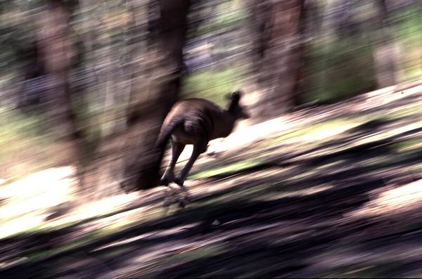 AUS-Grey Kangaroo-Cleland NP-SA-39
