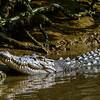 Crocodile swimming in the Daintree River. Daintree Rainforest, Australia