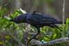 The Torresian Crow, or Australian Crow (Corvus orru cecilae) calling out in the light rain at a reserve in Brisbane, Queensland, January 2017. [Corvus orru cecilae 001 Brisbane-Australia 2017-01]