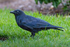A Torresian Crow, or Australian Crow (Corvus orru cecilae) at the Botanic Gardens in downtown Brisbane, Queensland, January 2017. [Corvus orru cecilae 009 Brisbane-Australia 2017-01]