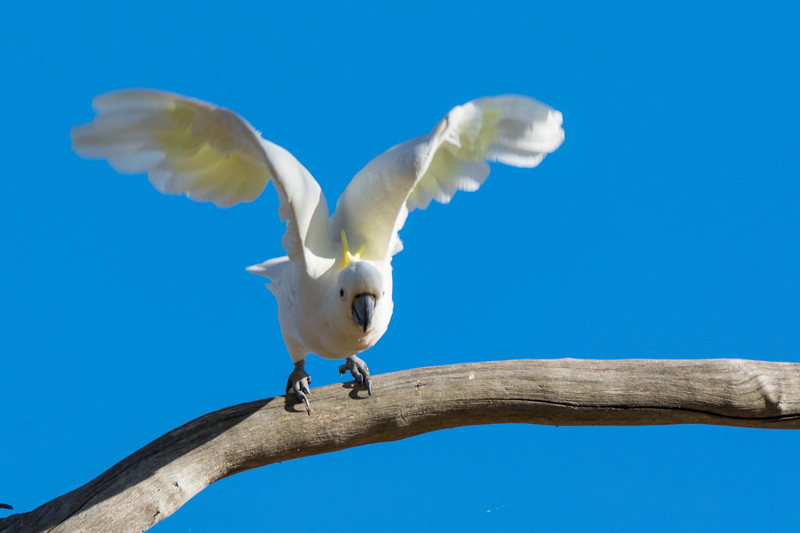 Greater Sulphur-crested Cockatoo (Cacatua galerita galerita) in Canberra, January 2017. [Cacatua galerita galerita 001 Canberra-Australia 2017-01]