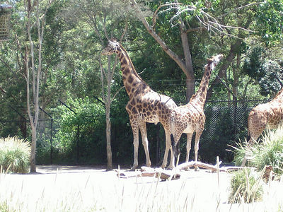 Giraffes at the Melbourne Zoo.