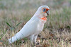 A Long-billed Corella (Cacatua tenuirostris) at Churnside Park, Melbourne, January 2017. [Cacatua tenuirostris 005 ChurnsidePark-Vic-Australia 2017-01]