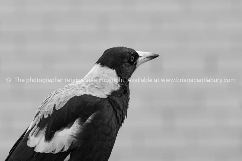 Australian magpie closeup