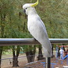 Cockatoo on our railing, Halls Gap, Grampians