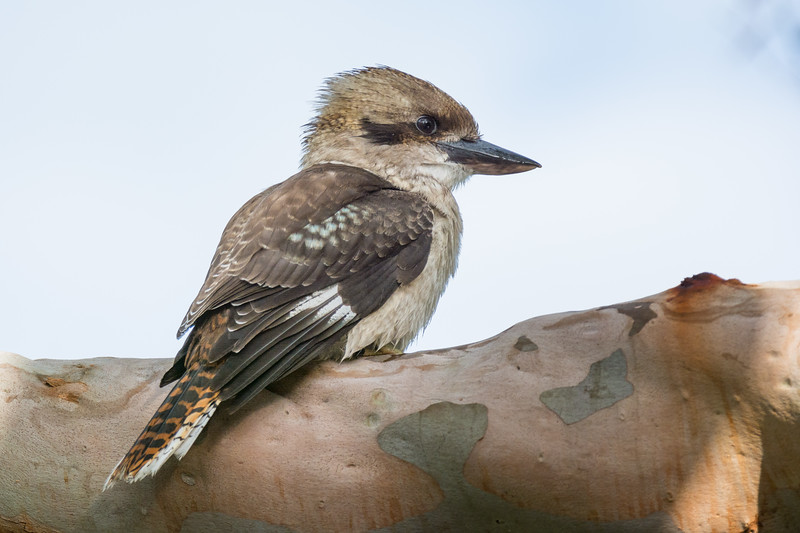 Laughing Kookaburra (Dacelo novaeguineae) sitting in an old gum tree, in Cronulla, NSW, January 2017. [Dacelo novaeguineae 021 Tahlee-NSW-Australia 2017-01]