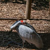 Australian crane sitting on legs.