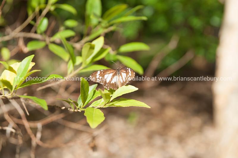 Tiger swamp butterfly Queensland, Australia-2