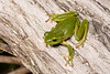 Leaf Green Tree Frog (Litoria phyllochroa) at Darkes Forest in New South Wales, Australia, January 2017. [Litoria phyllochroa 003 DarkesForest-NSW-Australia 2017-01]