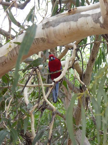 Parrot at Kennett River, Great Ocean Road