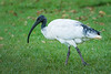 Australian White Ibis (Threskiornis molucca) in the riverside botanic gardens in Brisbane, January 2017. [Threskiornis molucca 003 Brisbane-Qld-Australia 2017-01]