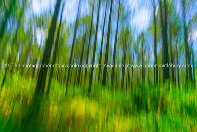 Abstract forest image pine forest from low angle view.