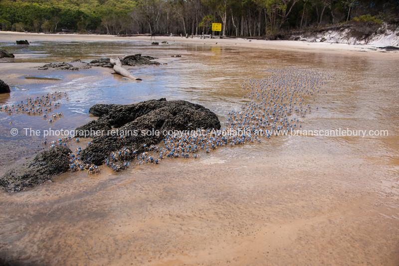 Soldier crabs on Fraser Island.
