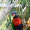 Rainbow lorikeet on branch on branch.
