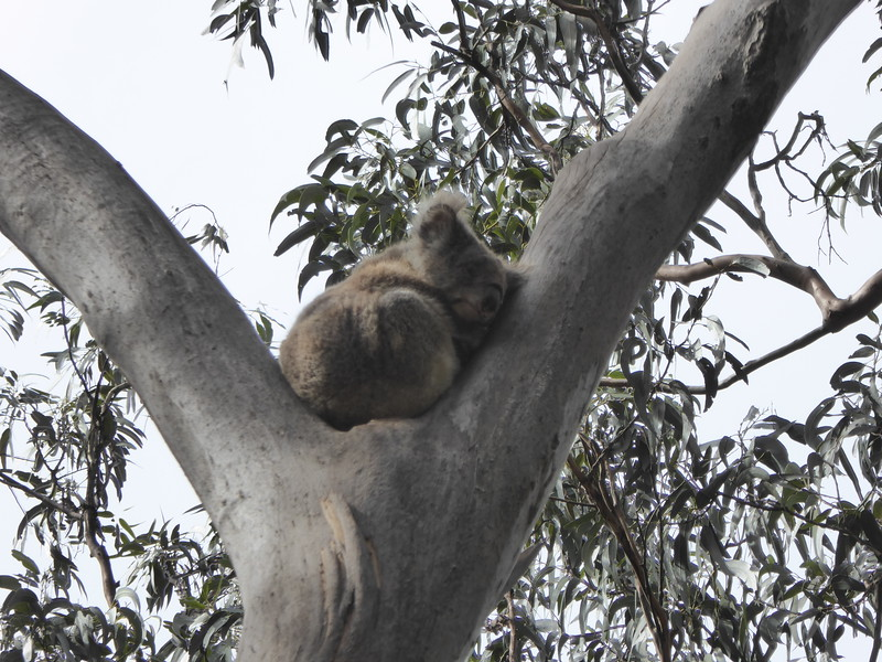 Koala along Grey River Road, Great Ocean Road