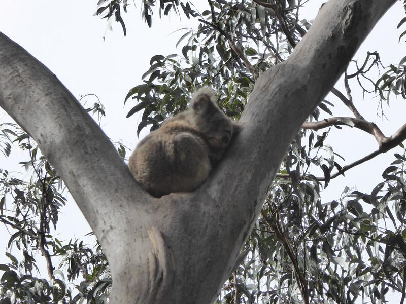 Koala along Grey River Road, Great Ocean Road