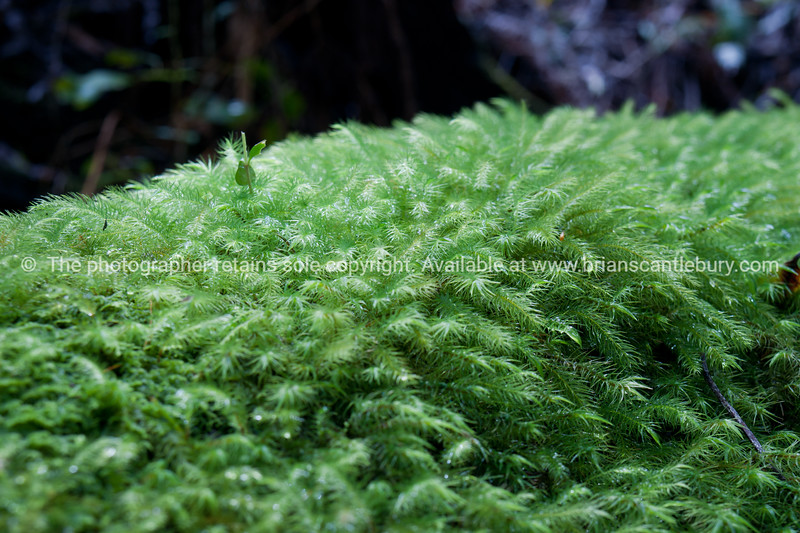 Moss on dead tree truck, closeup, in Queensland rain forest.