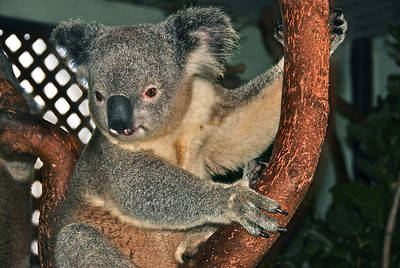 Yup, a koala