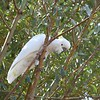 Cockatoo at Lakeside Tourist Park, Halls Gap