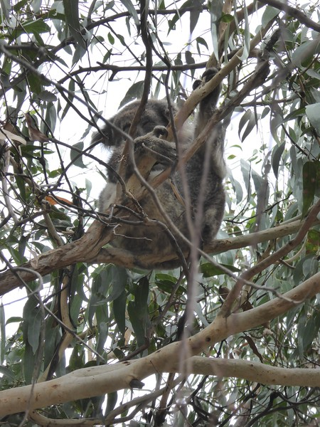 Koala at Kennett River, Great Ocean Road