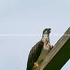 Eastern osprey.