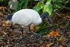Australian White Ibis (Threskiornis molucca) in the riverside botanic gardens in Brisbane, January 2017. [Threskiornis molucca 001 Brisbane-Qld-Australia 2017-01]