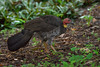 An Australian Brush-Turkey (Alectura lathami) in the Brisbane Botanical Gardens where there is a healthy population, Brisbane, January 2017. [Alectura lathami 001 Brisbane-Australia 2017-01]