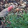 Galah, Australian parrot.