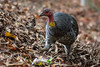 An Australian Brush-Turkey (Alectura lathami) forgaing in the Brisbane Botanical Gardens where there is a healthy population, Brisbane, January 2017. [Alectura lathami 016 Brisbane-Australia 2017-01]
