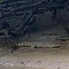 Crocodile resting on the shore of the Daintree River. Daintree Rainforest, Australia