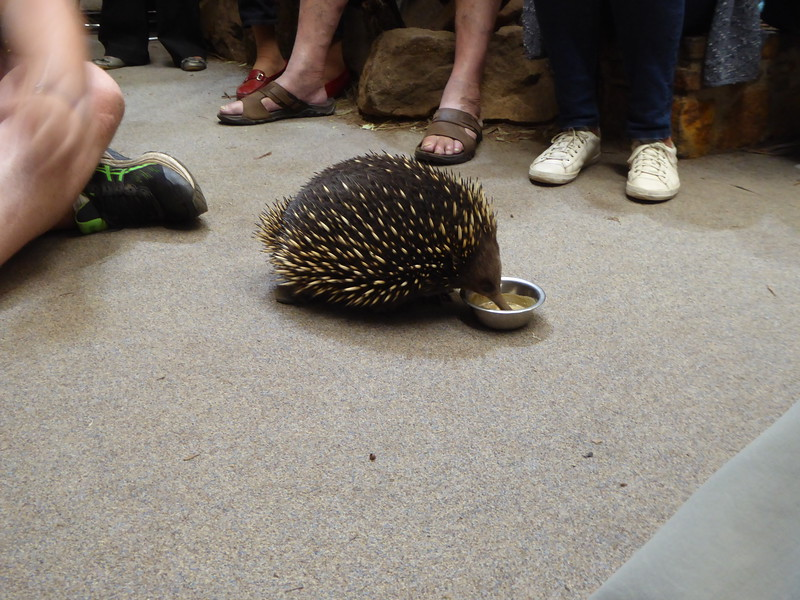 Echidna at Platypus House, Beauty Point