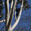 The Gum Tree, Botanical Gardens, Melbourne