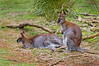 Brush-Tailed Rock-Wallaby (Petrogale penicillata) at Healesville Sanctuary.