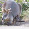 Kangaroo and Joey seen at 12 Apostles NP, Great Ocean Road