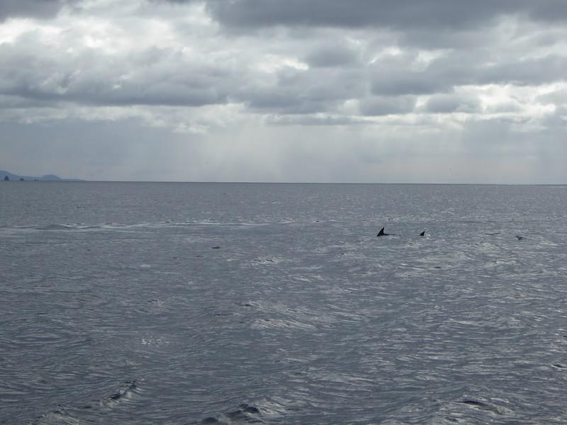 Dolphins seen on Tasman Island Cruise