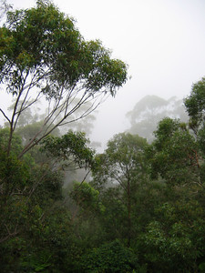 Fog and Forest - Australia